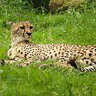 Cheetah, lazy but alert by steppeland