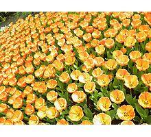 Orange Flowers of the Netherlands Photographic Print