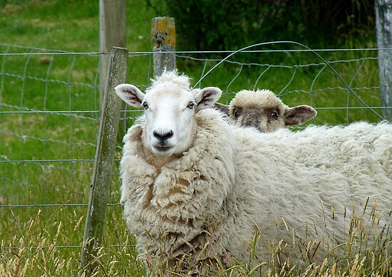 Stop Reading Over My Shoulder! - Sheep NZ by AndreaEL