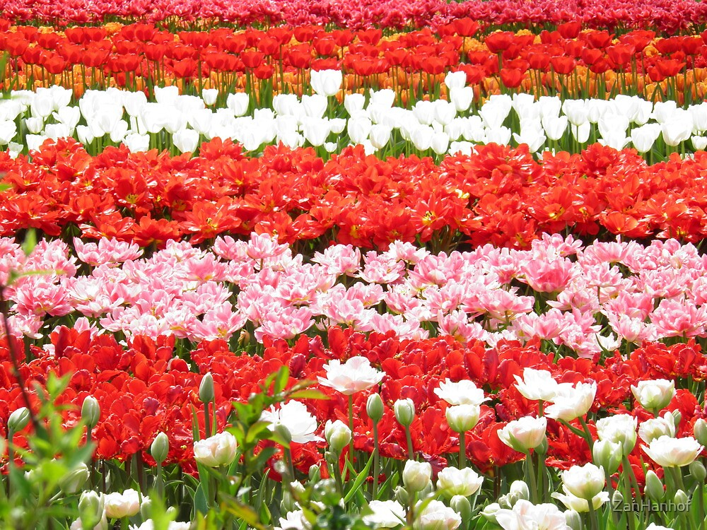 Flowers of the Netherlands by ZanHanhof