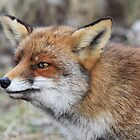 Red Fox - 1657 by DutchLumix