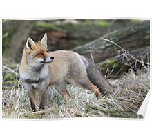 Red Fox - 1585 Poster