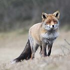 Red Fox - 1689 by DutchLumix