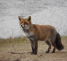 Red fox by angeljootje