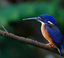 Azure Kingfisher by Steve Axford