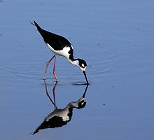 Black Neck Stilt Feeding by Gail Falcon