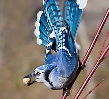 Blue Jay on dogwood by Michaela Sagatova