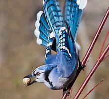 Blue Jay on dogwood by PixlPixi