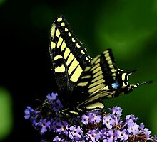 SWALLOWTAIL BUTTERFLY..~ by RoseMarie747