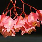 Pink Begonia Angel Wing Flowers by Beatriz  Cruz