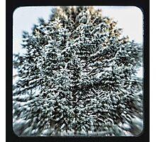 coniferous Photographic Print