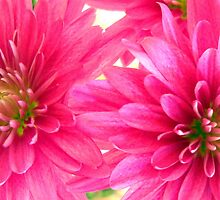 Two Pink Beauties by debbiedoda