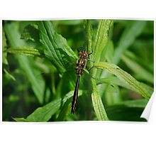 Bronze Dragonfly Poster
