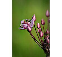 Two bees sharing a flower Photographic Print