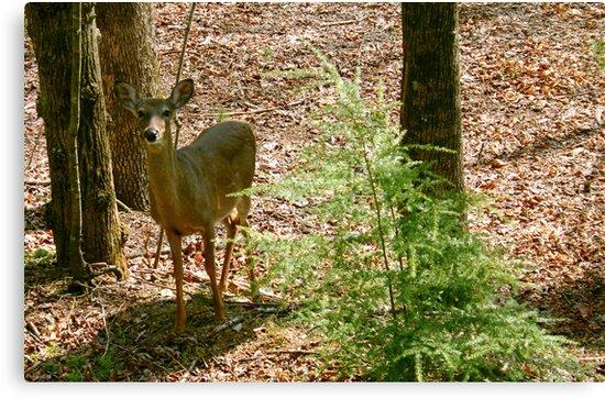 Curious Deer by Annlynn Ward