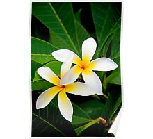 Two Beautiful Plumeria flowers Poster