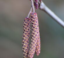 Pink Catkins by Gill Langridge