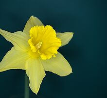 Daffo the Dilly by Chris Day