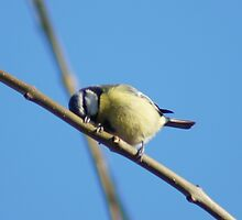 The Sleepy Blue Tit  by James Howell