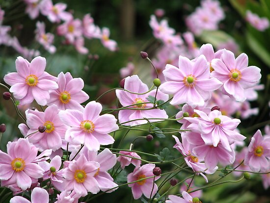 Pink Windflowers! by Gabrielle  Lees