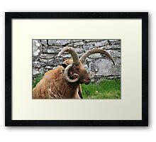 Manx Loaghtan Framed Print