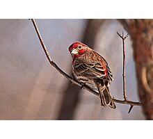 Male House Finch Photographic Print
