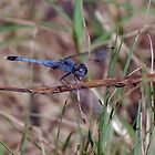Blue dragonfly on a twig by Ben Waggoner
