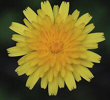 Launaea angustifolia by andrachne