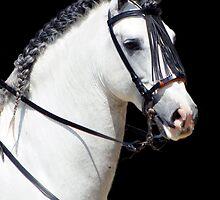 Andalusian Stallion by laurasonja