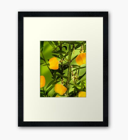 Australian yellow spade flowers Framed Print