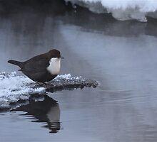 White-throated Dipper by Katariina Lonnakko