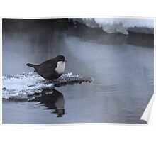 White-throated Dipper Poster