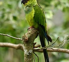 South American Nanday Conure by triciaoshea