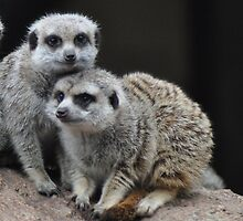 Meerkats by Jane  mcainsh