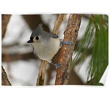 I Got My Eye On You (Tufted Titmouse) Poster