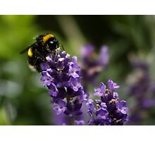 Bee and Lavender Photographic Print