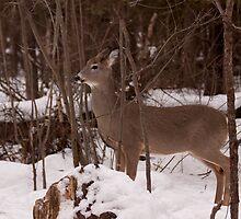 Oh deer!!! by Josef Pittner