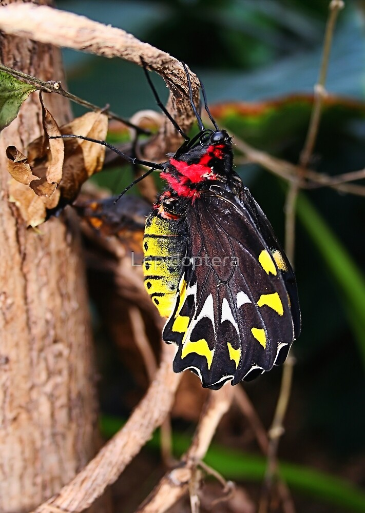 Just Born Cairns Birdwing - Ornithoptera euphorion by Lepidoptera