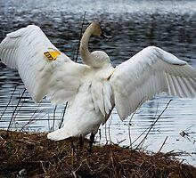 Trumpeter Swan by Diane Blastorah