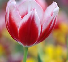 Tulip by Rainy