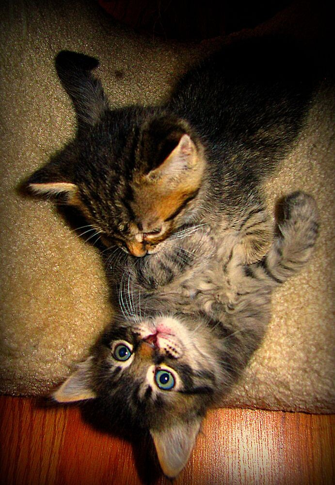 Two Beautiful Kittens Playing with Eachother by sunflowerlove