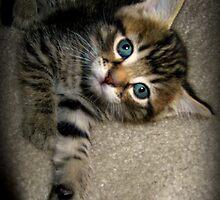 Blue Eyed Kitten Playing by sunflowerlove