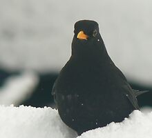 black bird in snow by LisaBeth