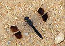 Banded Groundling Dragonfly by Elizabeth Kendall