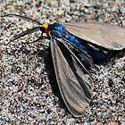Virginia Ctenucha Moth by Diane Blastorah