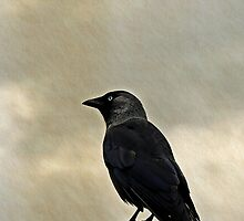 Jackdaw  (Corvus monedula) by buttonpresser