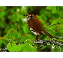 Treasure of the Forest (Wood Thrush)  Photographic Print