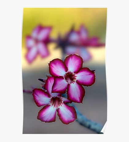 Colour Of Life XXXIX (Impala Lily) Poster