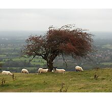 South Down Sheep Photographic Print