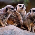 Meerkat by loiteke